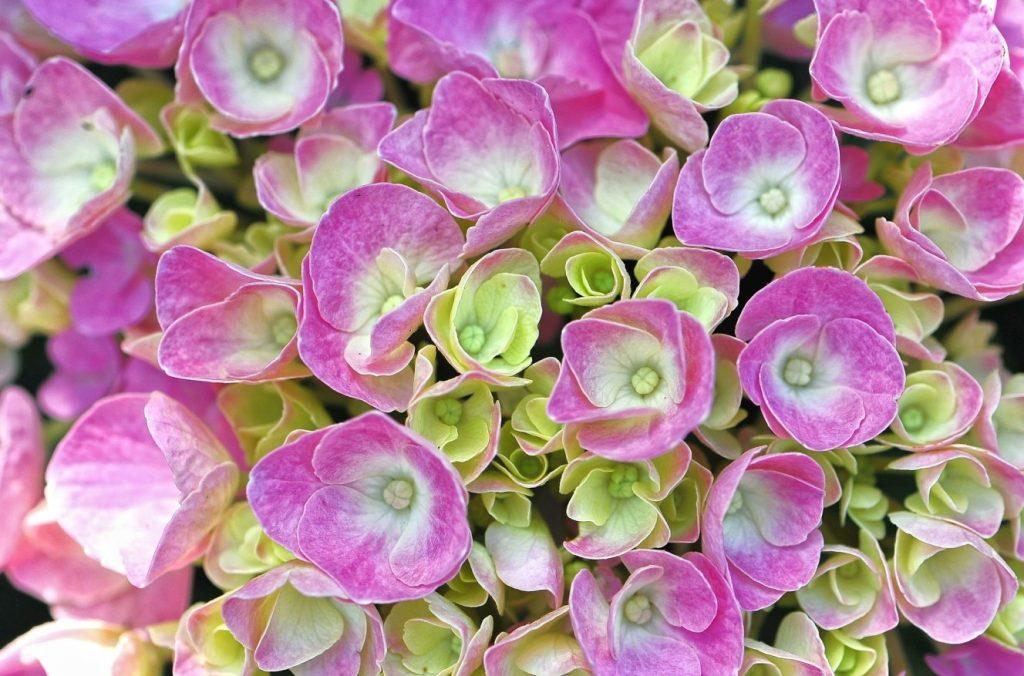 Diese Hortensie oder Kommunionblume besticht durch ihr changierendes Farbspiel.