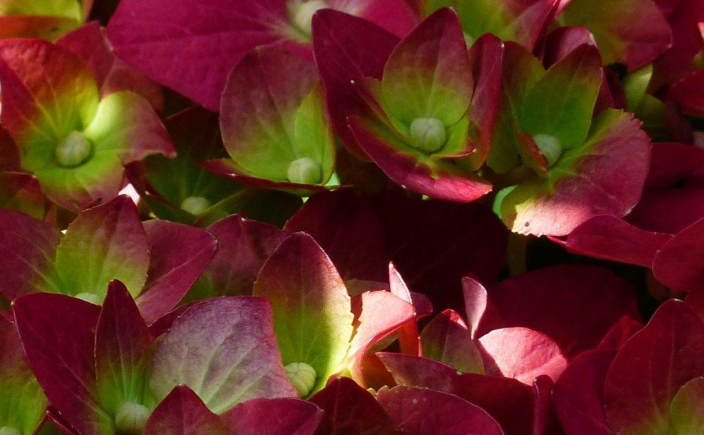 Hortensien zeigen sich in vielerlei bunten Farbgewand. Hier stehen rot und grün im Vordergrund.