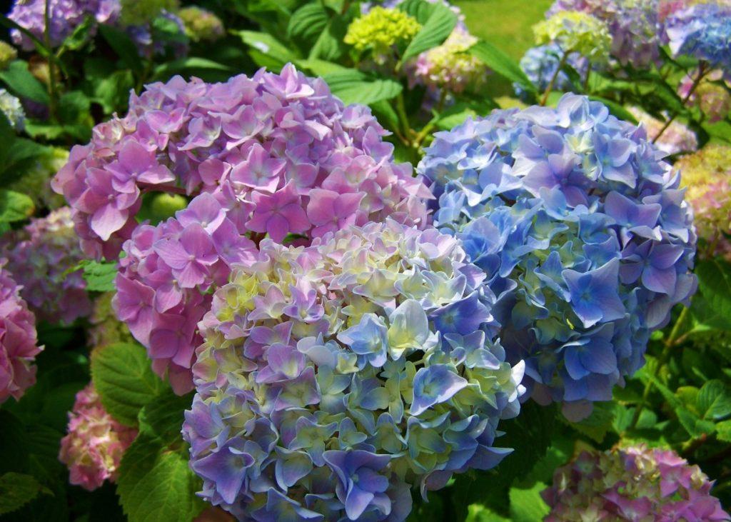 Die klassischen farben der Hortensie sind die Farben hellblau und zartrosa. Wer kennt sie nicht aus zahllosen Gärten und Parkanlagen?