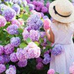 Hortensien: Pflege, schneiden und überwintern – Tipps & Videos
