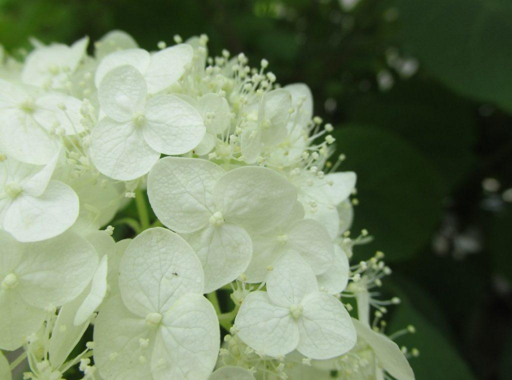 Weisse Hortensien erfreuen Auge und Seele mit ihrer Reinheit.