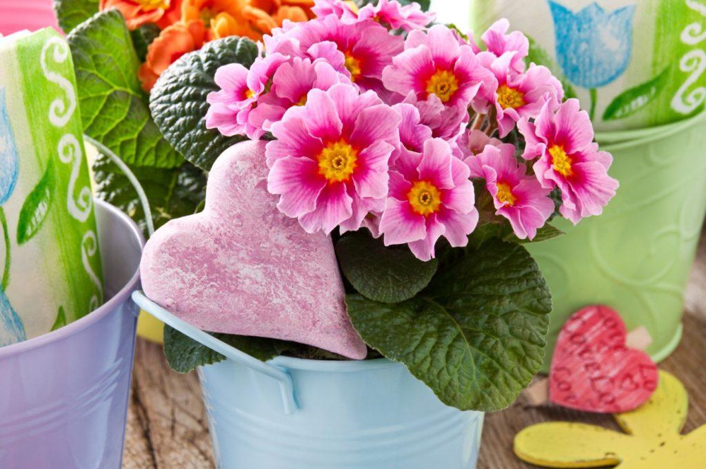 Die Primeln als typische Frühblüher eignen sich hervorragend für eine Deko auf der Fensterbank. In bunten Blecheimer(-chen) in Pastellfarben künden sie vom freudig heraufziehenden Frühling. Die Farben der Primeln reichen von knallig buntem Lila und Rot bis zu zarten Gelb- oder Hellblau-Tönen. Und ein kleines Herz aus Holz macht sich im Pflanzentopf hervorragend... (#2)