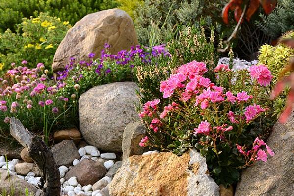 Steingarten, Blühpflanzen da entdeckt man immer wieder neues, blühendes.
