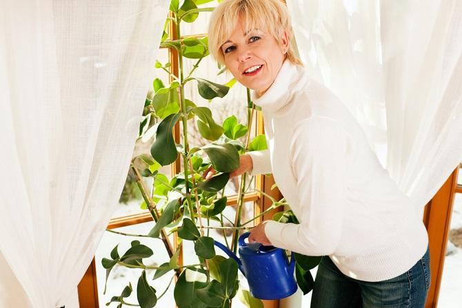 Natürlich darf auch der klassische Gummibaum nicht unerwähnt bleiben. Er gedeiht auch dann, wenn man ihn nur sporadisch gießt. So ähnlich sieht es auch bei dem Fensterblatt aus, das ebenfalls zu den Favoriten bei den pflegeleichten Topfpflanzen gehört. (#04)