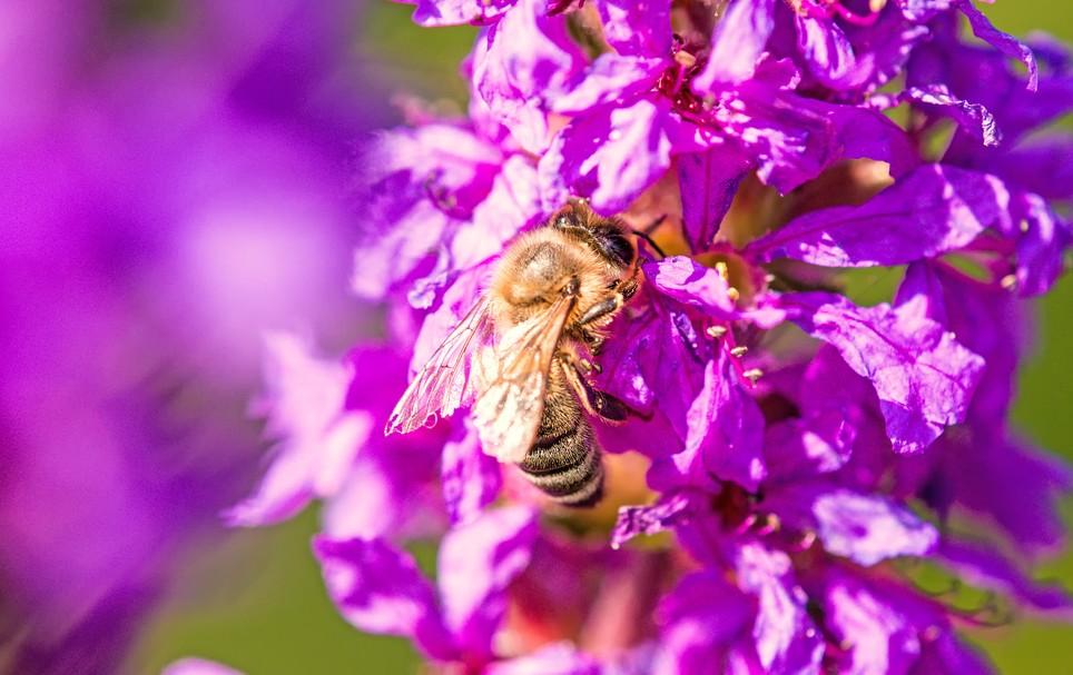 Den bedrohten Bienen einen Lebensraum zu schenken, ist eine lohnenswerte Aufgabe beim Gestalten des Vorgartens. Der Lohn ist sehr ansehnlich: wenn wie hier der  Gewöhnliche Blutweiderich ( Lythrum anceps ) blüht, dann ist dies nicht nur ein Augenschmaus für Sie. Weithin sichtbar ist die Blütenpracht und man lockt mit Sicherheit viele Bienen und Schmetteringe an, wie man hier sehen kann. (#4)