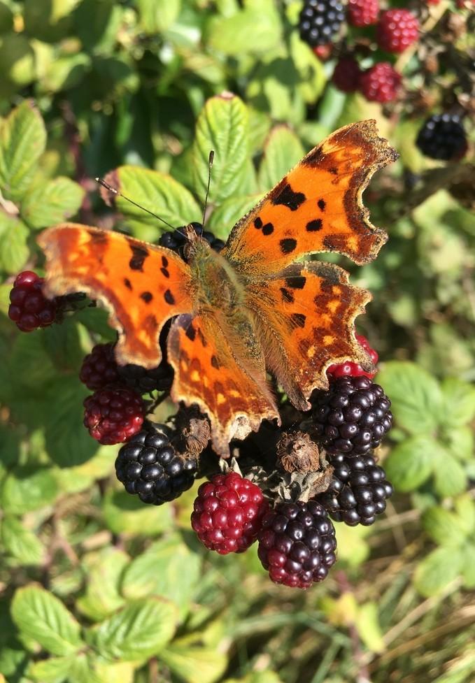 Den Vorgarten zu gestalten, kann so einfach und clever sein. Ein Brombeerstrauch beispielsweise ist durch sein schwarz-rot-grünes Farbenspiel nicht nur sehr dekorativ. Die Brombeeren sind sehr lecker und wie man sehen kann, lockt der Brimbeerstrauch im Vorgarten auch manch seltene Schmetterlinge an. (#2)