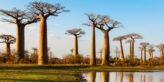 Affenbrotbaum: Vom Aussterben bedroht