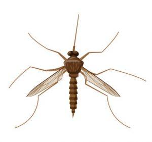 Schädlinge wie die Trauermücke (Sciaridae) können dem Affenbrotbaum stark zusetzen. (#4)