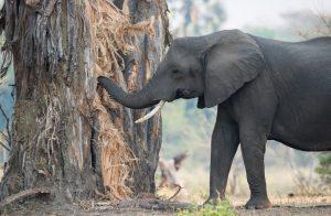 """Der Affenbrotbaum ist als """"Baobab"""" für viele Tiere Afrikas lebenswichtig. Dem Elefanten dient er in der Trockenzeit als Wasserreservoir. (#2)"""