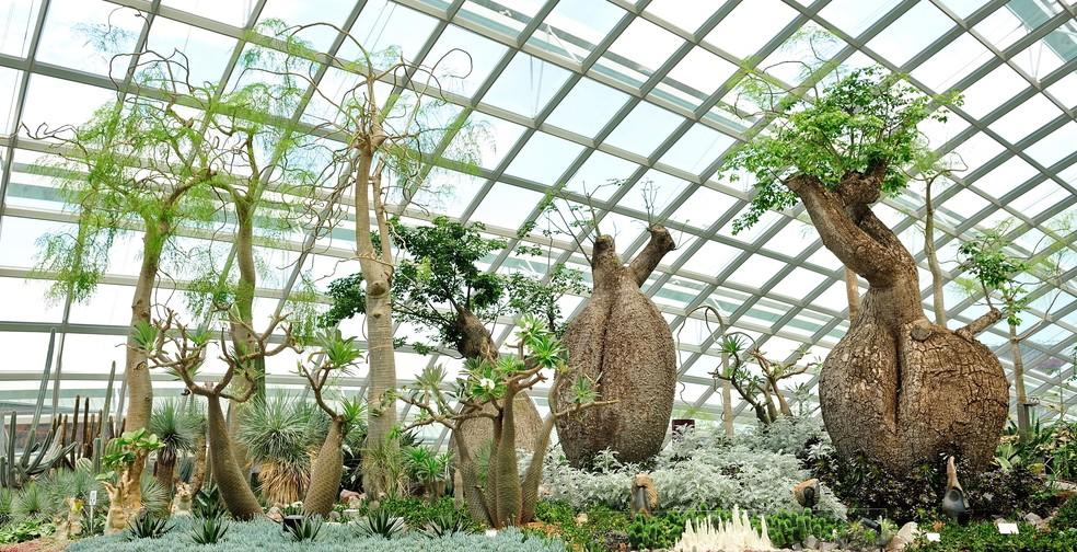 Der Affenbrotbaum will kühl überwintern. Das gestaltet sich im Wohnzimmer etwas schwierig. Doch der Transfer in den Wintergarten ist auch keine leichte Übung. Mit den Jahren will der Affenbrotbaum doch ins Freie. Dessen sollte man sich bewusst sein. (#5)