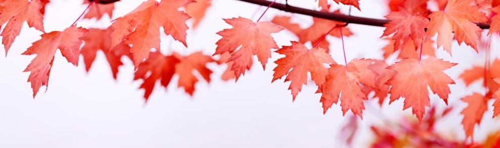 Eine der Baumarten, die einen besonders hoen Grad an Bekanntheit erlangt haben, ist der Ahorn. (#7)