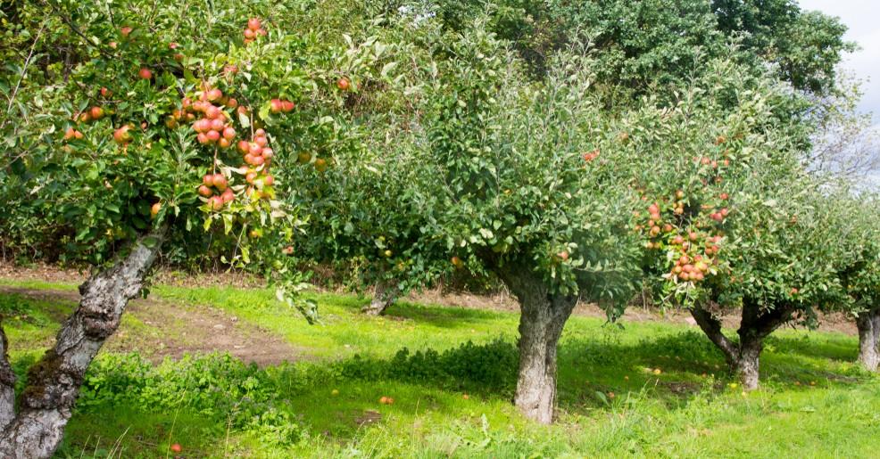 Die Früchte machen den Apfelbaum zu einer sehr beliebten Baumart. In Form von Apfelsaft und Apfelwein hat er sich in unsere Herzen geschlichen. (#6)