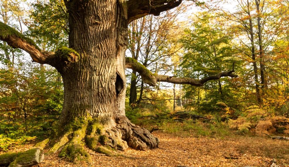"""Wenn wir Deutschen uns mit einer der vielen Baumarten identifizieren können, dann mit der """"deutschen"""" Eiche. Knorrig uns stark - so wie wir selbst - ist sie. (#4)"""