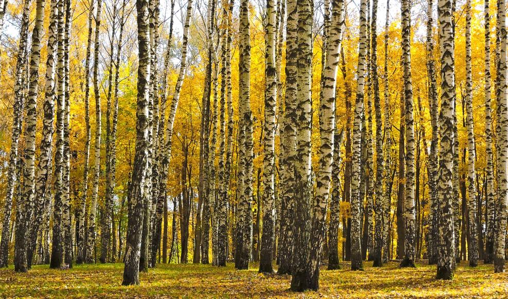 Unter den in Deutschland vorkommenden baumarten ist die Birke sicher eine der schillerndsten. Ihr weiß-gelb-schwarzes Farbenspiel im Herbst zu erblicken ist belebend. Doch auch das saftige und frische Grün der Blätter im Frühling gibt der Seele Nahrung. (#5)