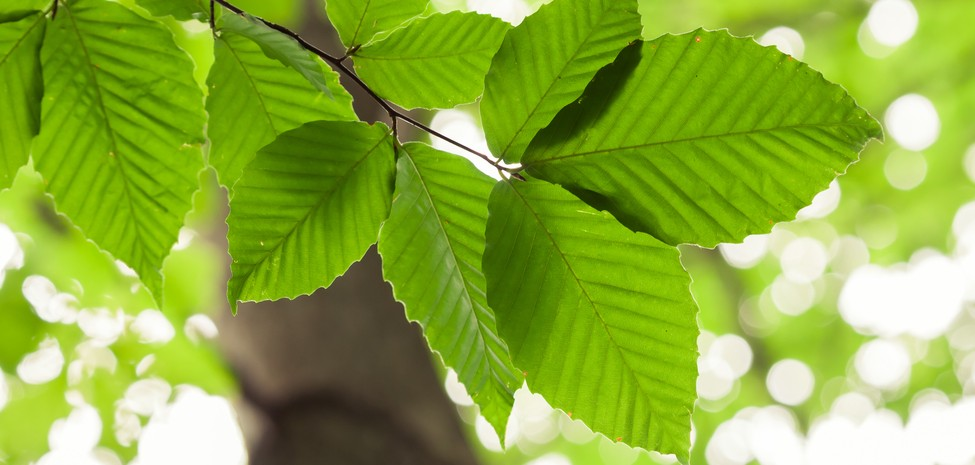 Ebenfalls eine bekannte Baumart ist die Buche. Ihre markanten Blätter kennen wir. (#3)