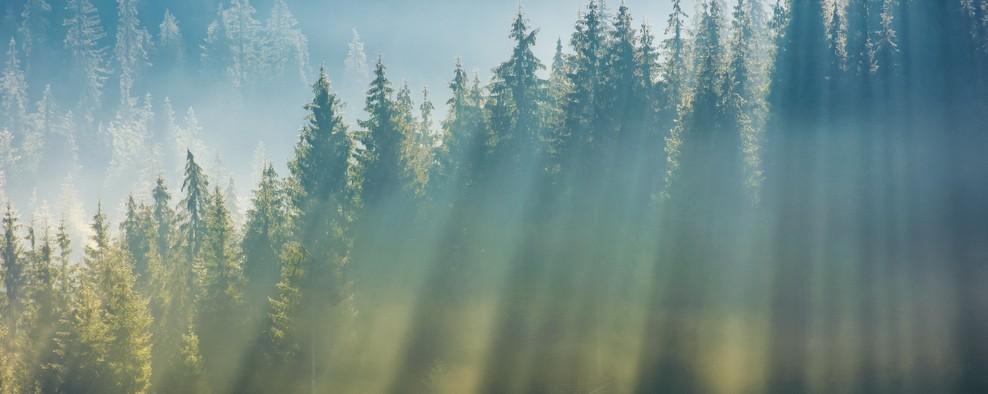 Eine der bekannteren Baumarten: die Fichte. (#2)
