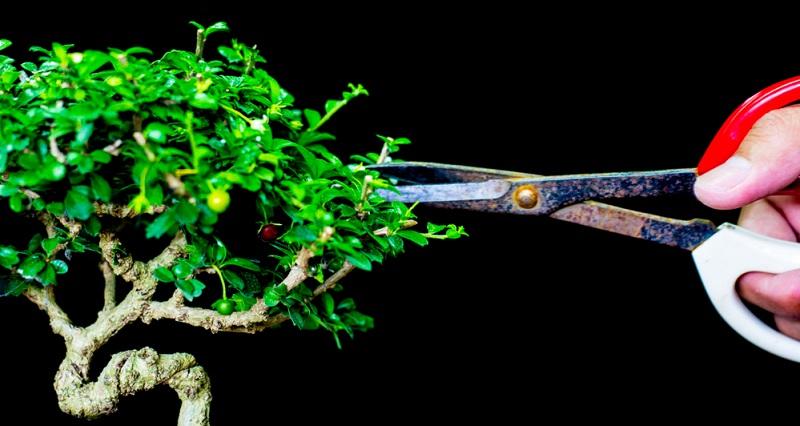 Bonsai schneiden: Beim Nachschnitt sollten immer nur die jungen Triebe entfernt werden und auch nicht alle gleichzeitig.