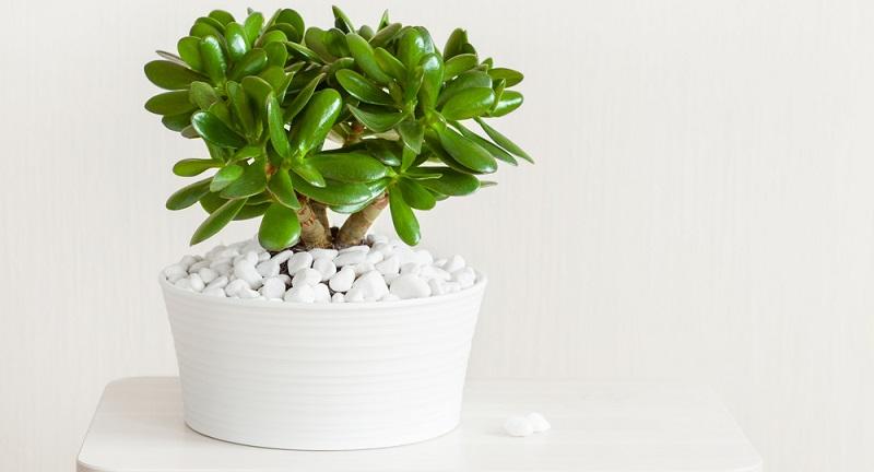 Der Grasula ovata oder auch Geldbaum genannt ist der perfekte Kandidat für den Einstieg in die Bonsai Pflege.