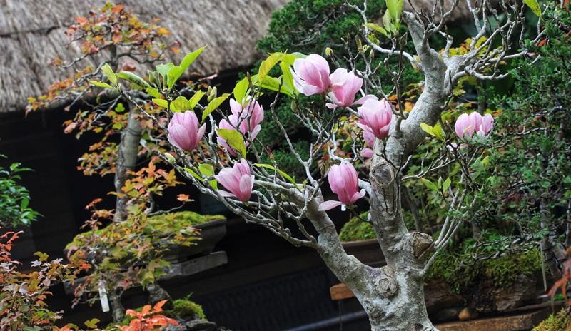Outdoor-Bonsai sollten nicht im Zimmer gehalten werden, da sie nach einigen Monaten eingehen.