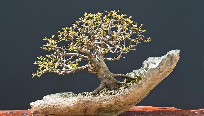Die Hainbuche ist eine sehr beliebte Freiland-Bonsai Pflanze.