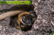 Erdbienen loswerden: 3 Hausmittel, die helfen