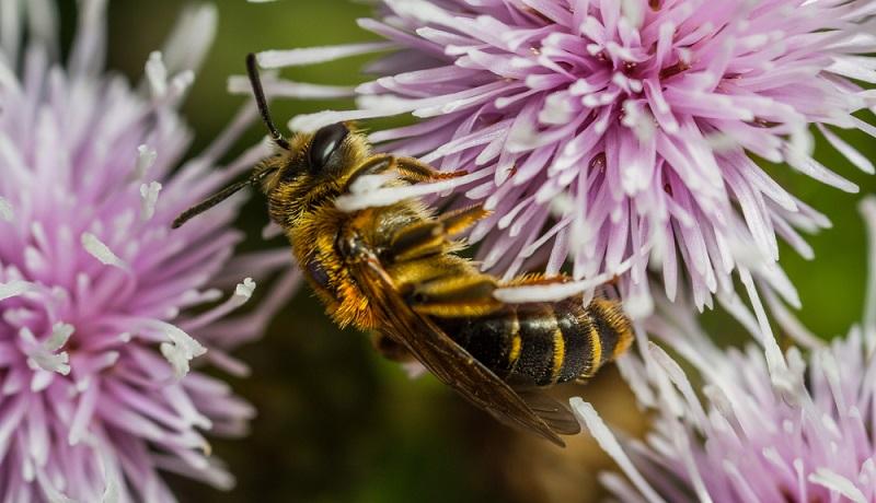 Andrena dorsata: Diese Erdbiene ist häufig in heimischen Gärten anzutreffen.
