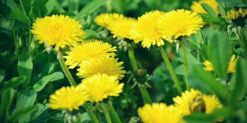 Der gelbe Löwenzahn ist auf vielen heimischen Wiesen verbreitet und dient zahlreichen Insekten als Nahrungsquelle.