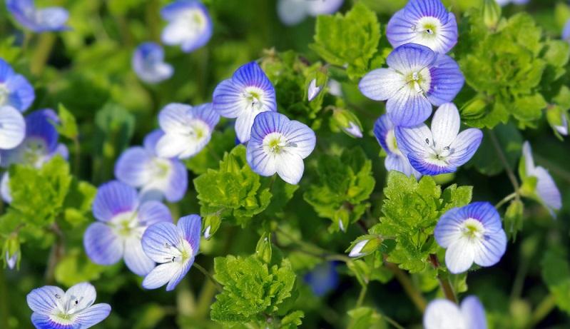 Die blauen Blüten vom Ehrenpreis – einzige Nahrungsquelle der kleinen Sandbiene Andrena viridescens.