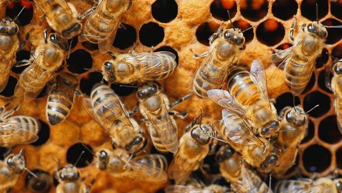 Honigbienen bilden Bienenvölker und leben im Bienenstaat zusammen. Die meisten Wildbienen leben Solitär als Einzelgänger.