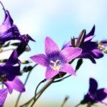 Glockenblume: Pflanzen, pflegen & düngen