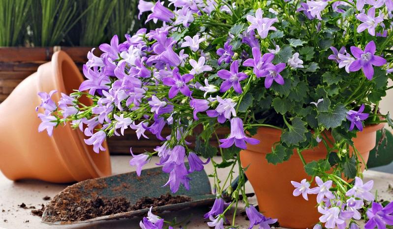 Glockenblumen kann man durchgehend von Frühjahr bis Herbst in nährstoffreichen, durchlässigen Boden pflanzen.