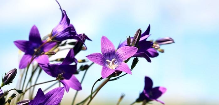 Glockenblume: Pflanzen, Pflege & düngen