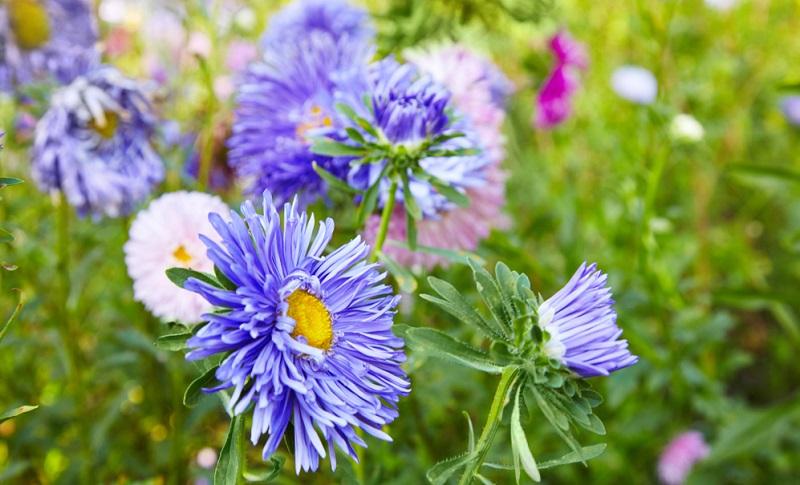Die Aster ist eine typische Bauerngartenblume und überrascht mit ihren zahlreichen Sorten und Farben immer wieder.