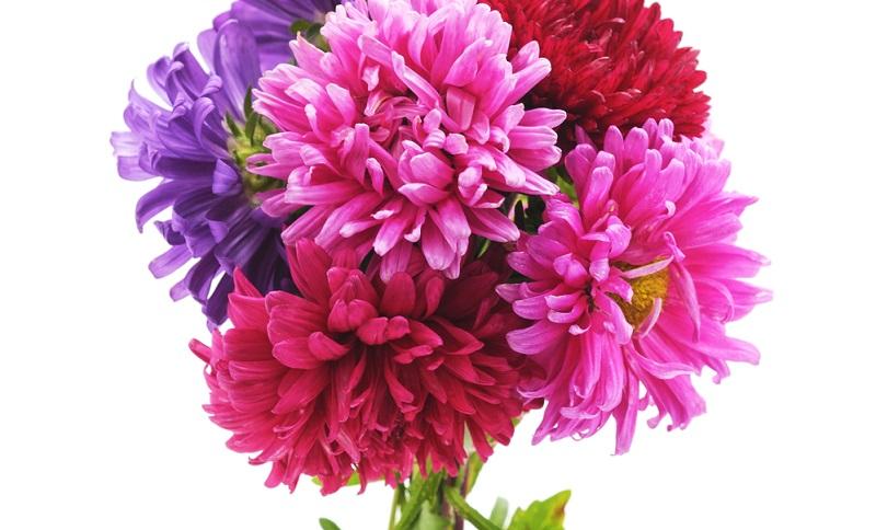 Astern, auch als Sternblumen bekannt, sind eine Gattung innerhalb der Familie der Korbblütler und zählen etwa 180 Arten.