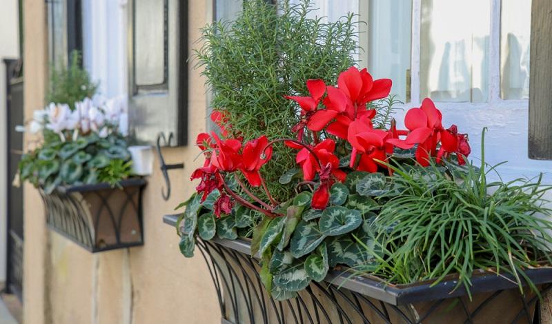 Inzwischen erfreuen uns zahllose Züchtungen dieser beliebten Zierpflanzen.