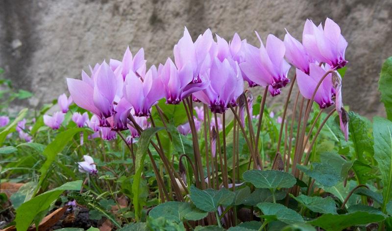 Pflanzen: Zimmeralpenveilchen kauft man als blühende Pflanze und sie müssen nur beim Umtopfen neu eingepflanzt werden.