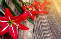 Amaryllis richtig pflegen nach der Blüte