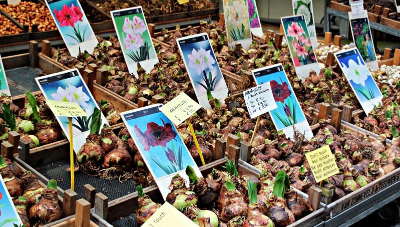 Die botanisch korrekte Bezeichnung der Amaryllis ist Ritterstern, denn es sind zwei verschiedene Arten.