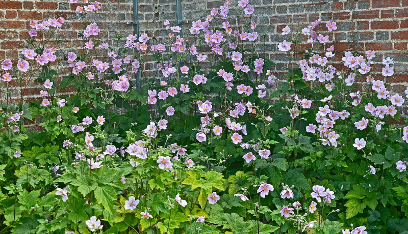 Bei der Pflege stellt die Anemone keine besonderen Ansprüche. Allerdings ist während der Wachstums- und Blütezeit regelmäßiges gießen wichtig. Erde aber nicht zu nass halten!