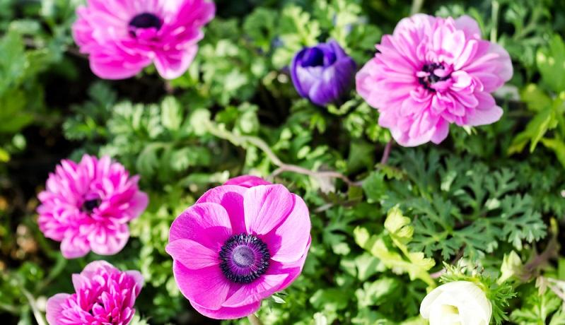 Die Anemone zeigt ihre zarten Blütenschalen zu den unterschiedlichsten Jahreszeiten.