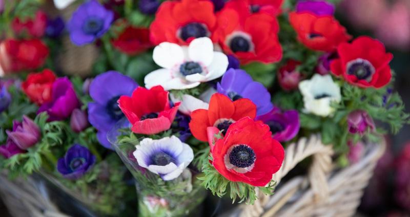 Die Anemone braucht für eine schöne, reichhaltige Blüte nährstoffreichen Boden.