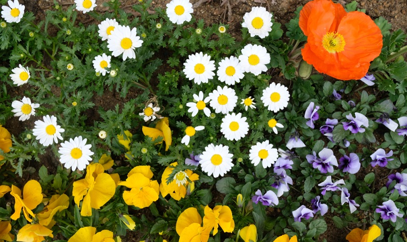 Als Zimmerwindröschen eignet sich die Anemone nicht. Dagegen sind niedere und frühblühende Windröschen, etwa das Balkanwindröschen oder das Buschwindröschen, perfekt als Bodendecker im lichten Schatten der Gehölze und zwischen Ziersträuchern wie dem Rhododendron, auch in halbschattigen Steingärten zeigen die niederen Arten ihren Reiz.