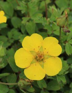 Fingerkraut: Pflanzen & Pflegen