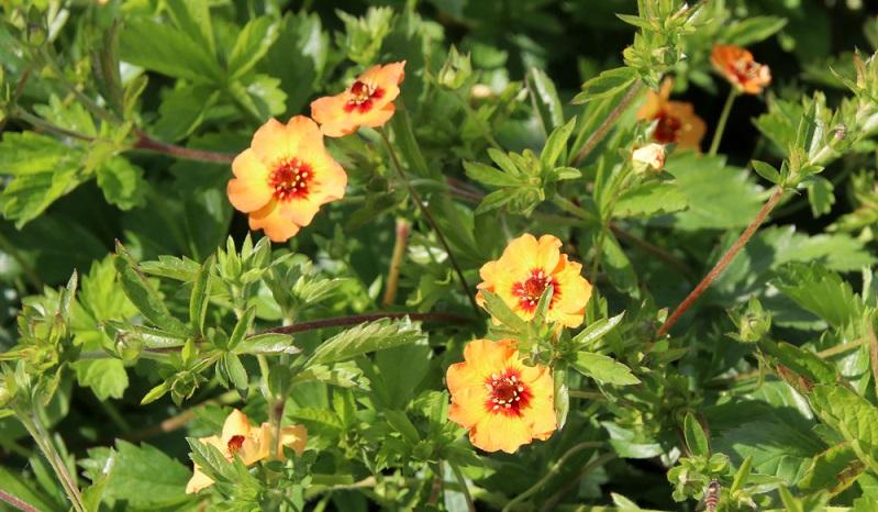 Die Wildformen des Fingerkrauts sind mit ihren ungefüllten Blüten bei Bienen, Hummeln und Schmetterlingen sehr beliebt.