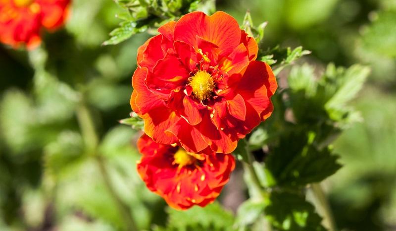 Das Fingerkraut (botanisch Potentilla) ist eine Pflanzengattung innerhalb der Familie der Rosengewächse und zählt bis zu 500 Arten.