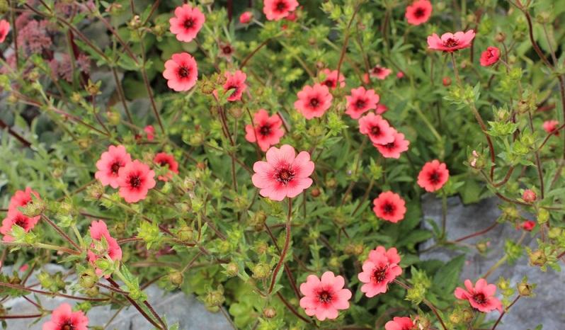 Die Vermehrung durch Stecklinge erfolgt im Sommer durch kräftige Triebe, die man von der Mutterpflanze abschneidet.