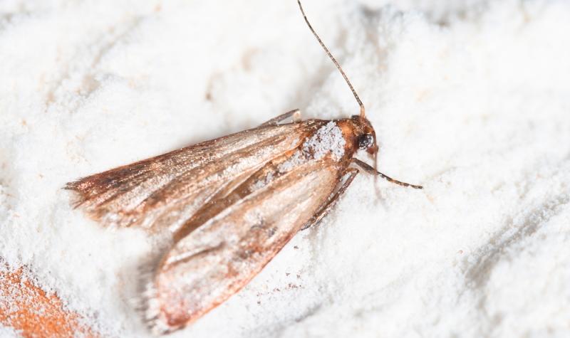 In kürzester Zeit werden bei einem Mottenbefall alle bevorzugten Lebensmittel kontaminiert.