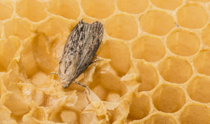 Die Lebensmittelmotte ist nachtaktiv, sollte man also tagsüber eine Motte finden, ist es sinnvoll bei Nacht noch einmal zu überprüfen, ob es mehr als eine Motte gibt.