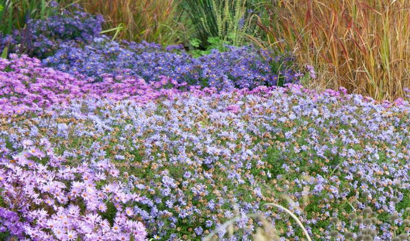 Stokesia laevis: Die Kornblumenaster in violett bis blau