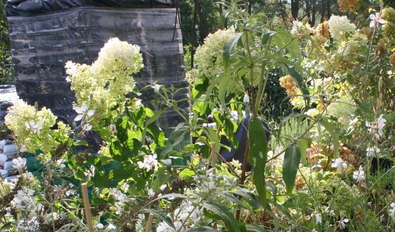"""Spornblume """"Albud"""" (Centranthus ruber): Üppige Blütenrispen strahlen über der Pflanzung."""